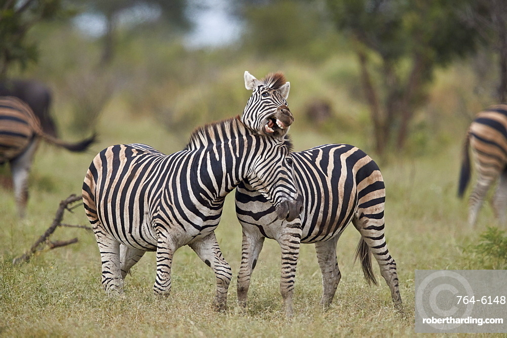Chapman's Zebra or Plains Zebra (Equus quagga chapmani) sparring, Kruger National Park, South Africa