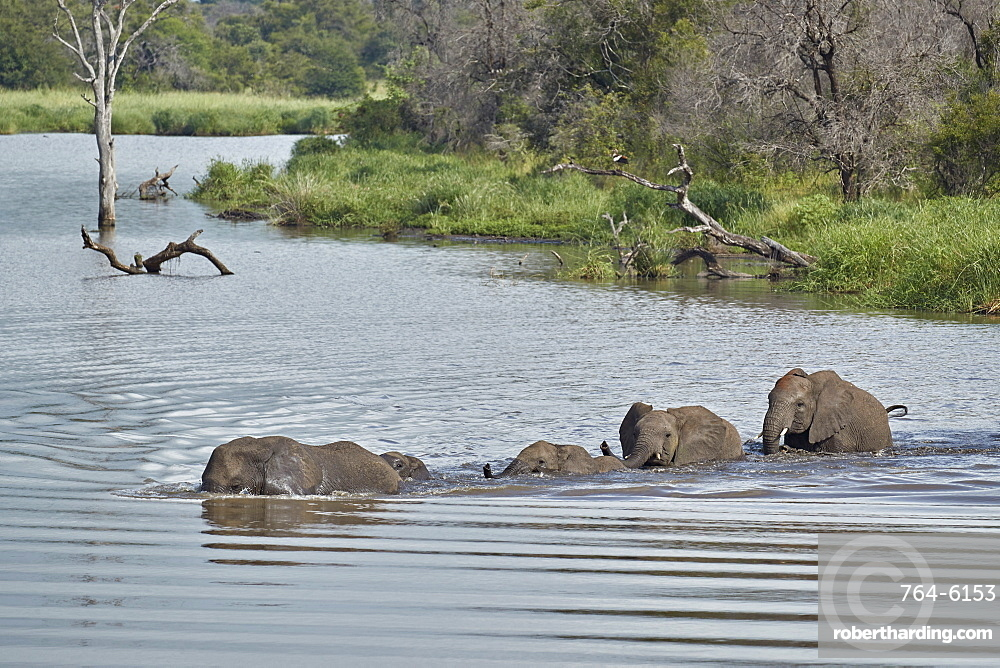 Line of African Elephant (Loxodonta africana) crossing a river, Kruger National Park, South Africa, Africa