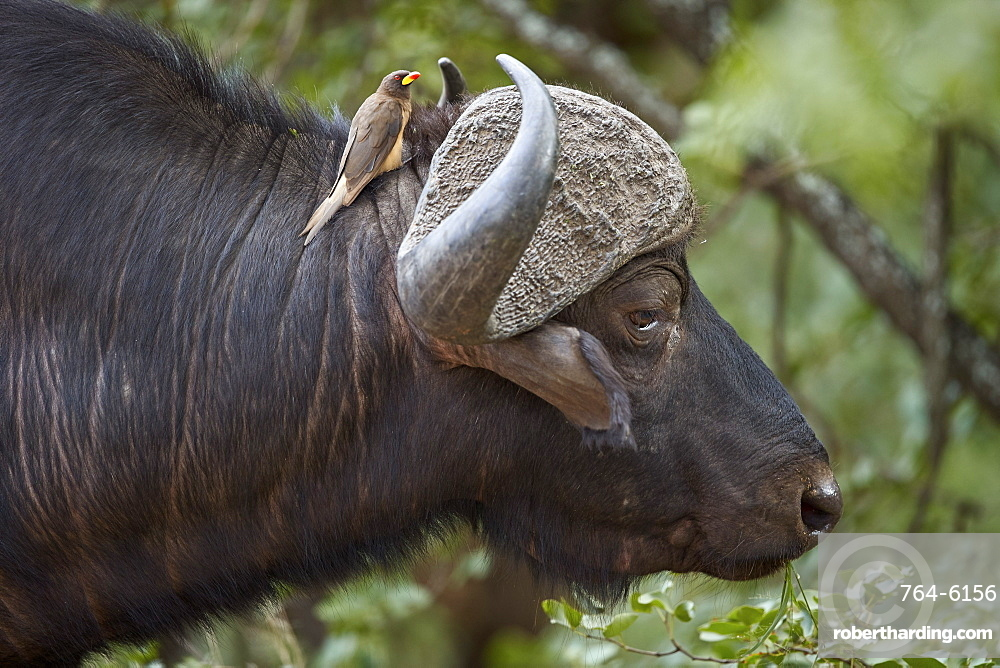 Cape Buffalo (Syncerus caffer) with a Yellow-billed Oxpecker (Buphagus africanus), Kruger National Park, South Africa, Africa
