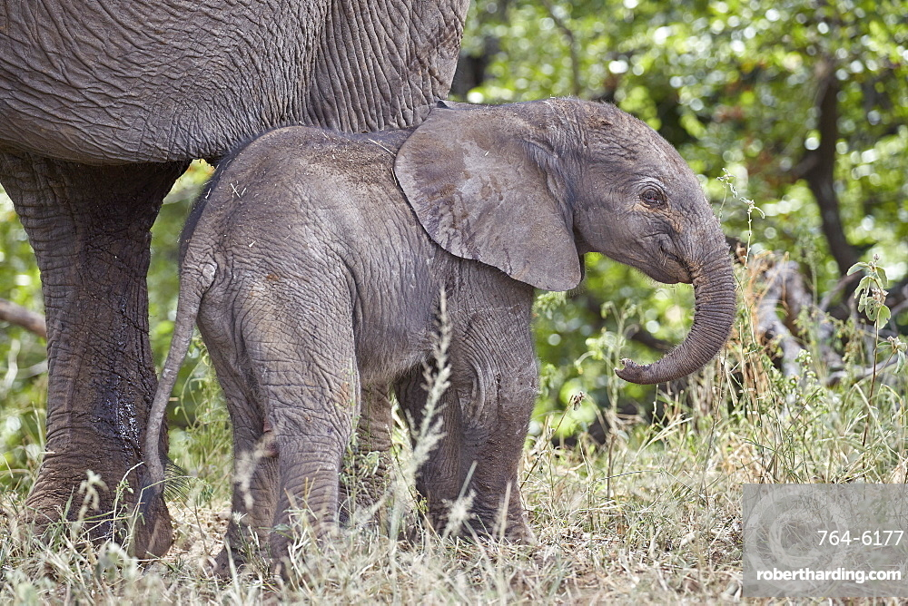 Days-old African Elephant (Loxodonta africana) calf, Kruger National Park, South Africa, Africa