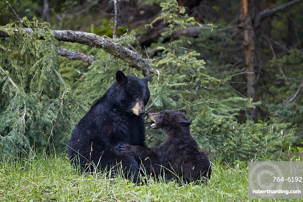 Black Bear (Ursus americanus) sow and yearling cub playing, Yellowstone National Park, UNESCO World Heritage Site, Wyoming, United States of America, North America
