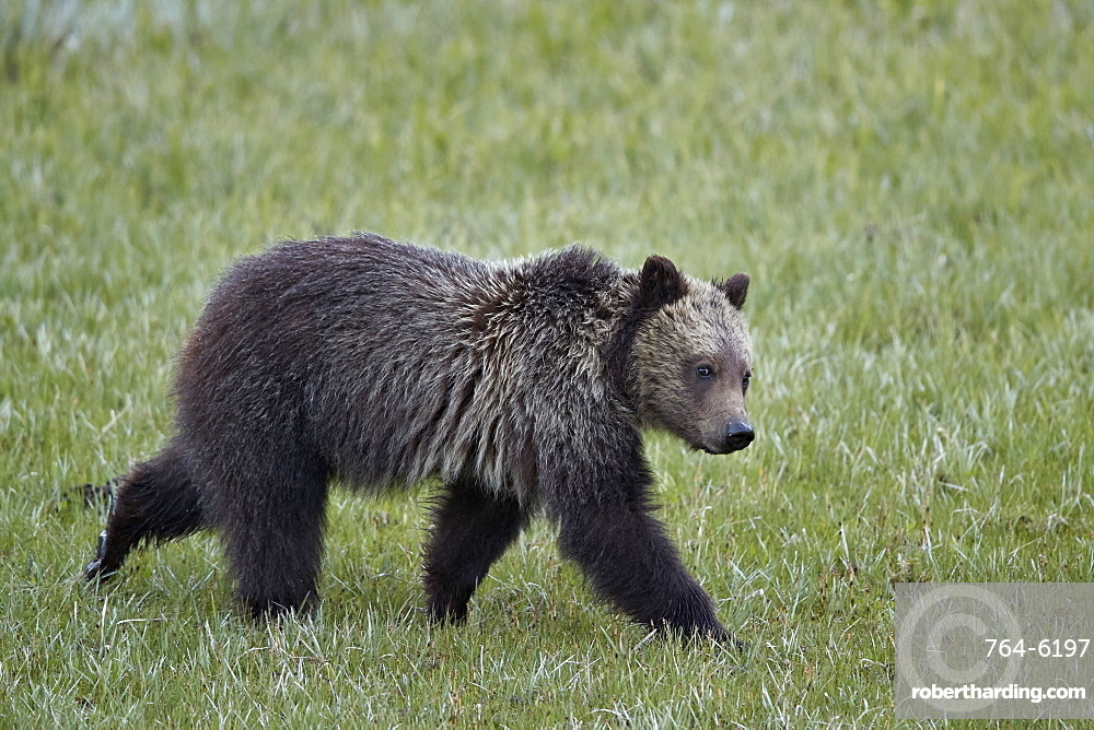 Grizzly Bear (Ursus arctos horribilis), yearling cub, Yellowstone National Park, Wyoming, USA