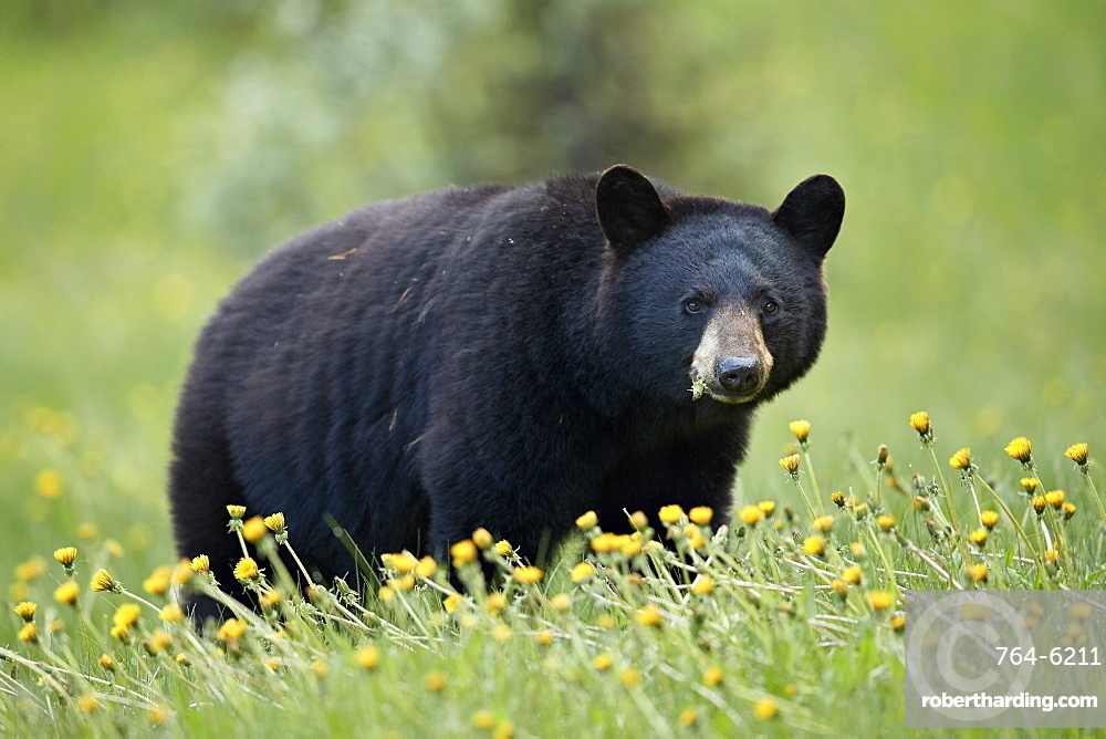 Black Bear (Ursus americanus) eating common dandelion (Taraxacum officinale), Jasper National Park, Alberta, Canada, North America