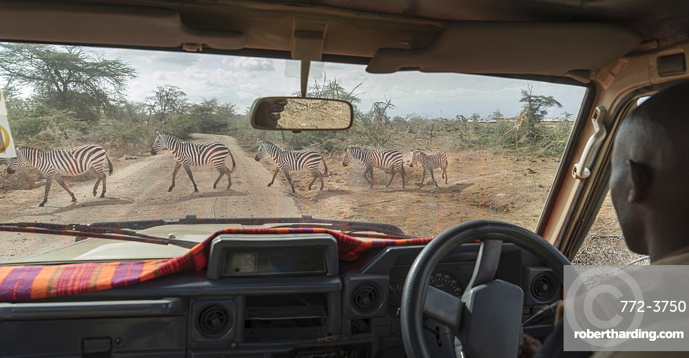 Zebras crossing a road in Amboseli National Park, Kenya, East Africa, Africa