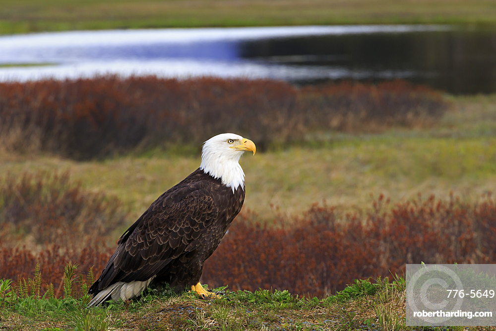 Bald Eagles, Valdez, Prince William Sound, Alaska, USA