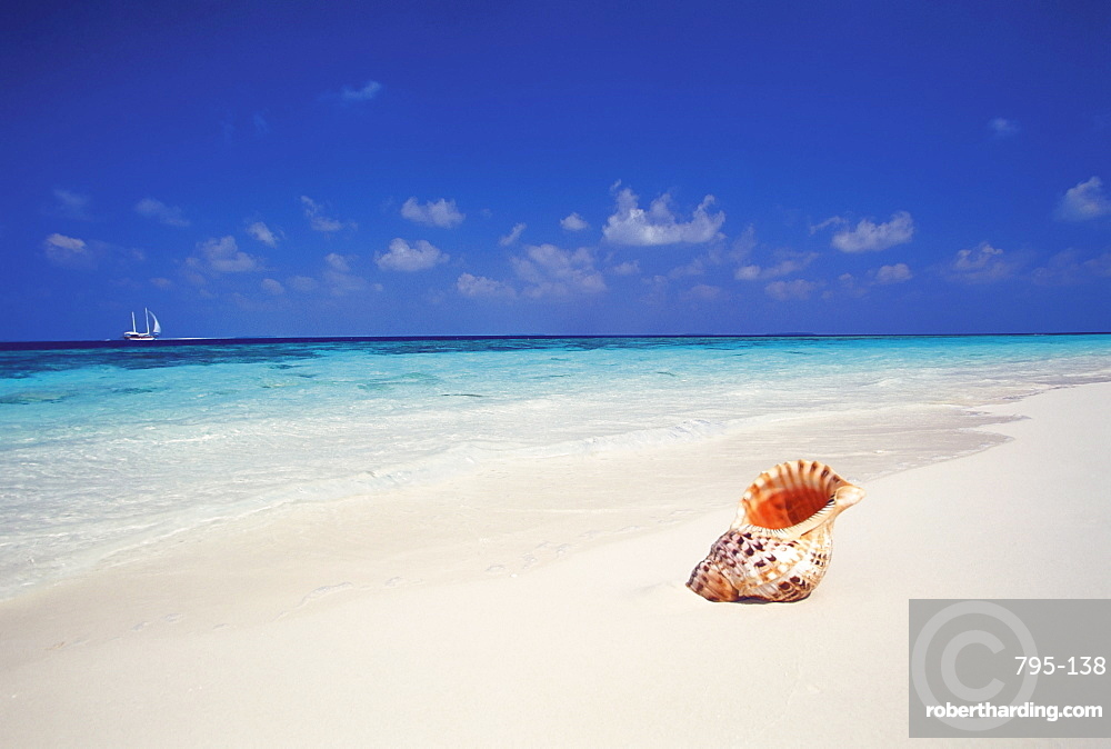 Shell on a deserted beach, Maldives, Indian Ocean, Asia