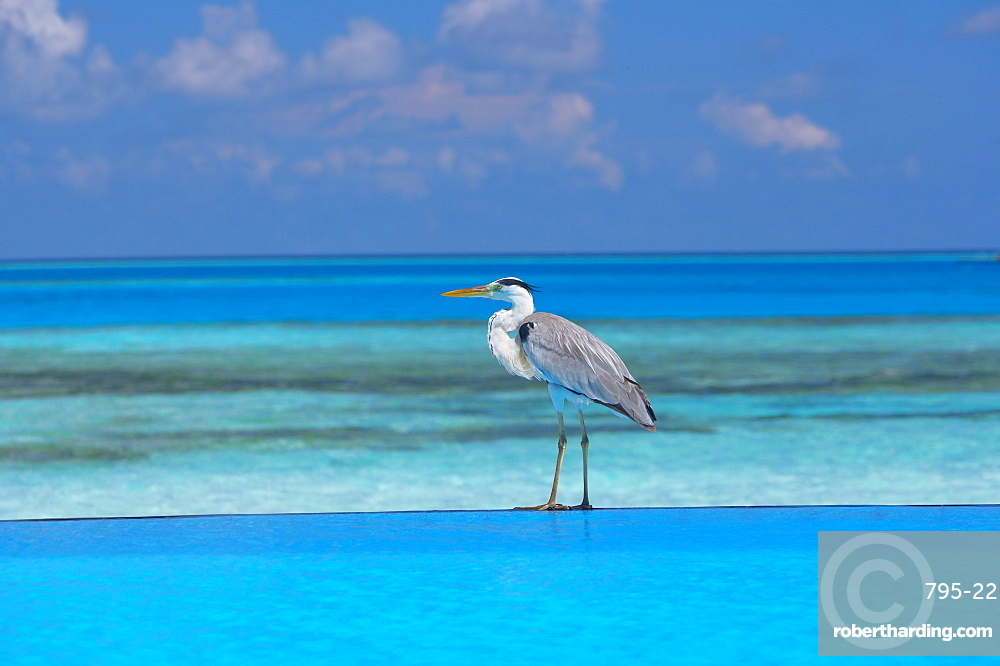 Blue heron standing in water, Maldives, Indian Ocean, Asia