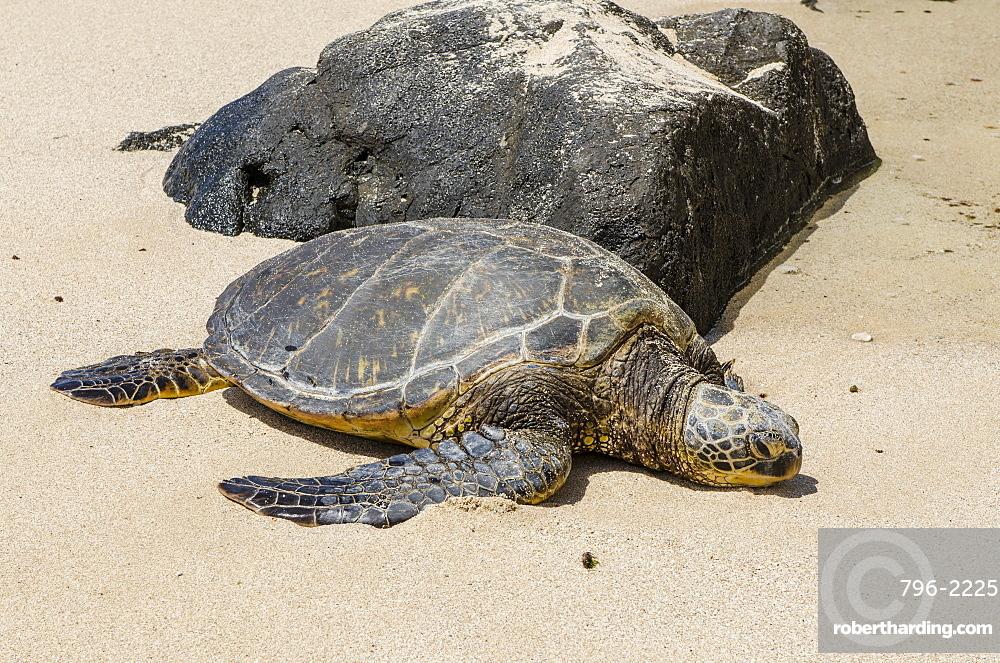 A green sea turtle (Chelonia mydas) on Laniakea Beach, North Shore, Oahu, Hawaii, United States of America, Pacific