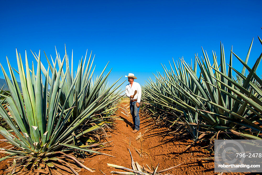 Harvesting agave for tequila, Tequila, UNESCO World Heritage Site, Jalisco, Mexico.