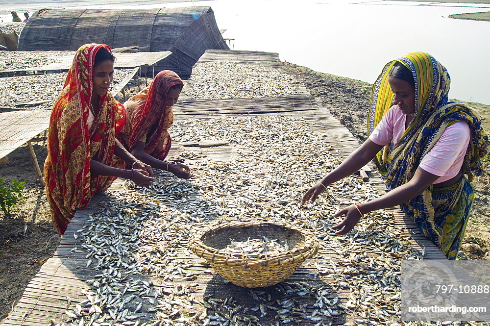 Bangladesh, Rajshahi, Women outside sorting tables of small fish which are drying in the sun.