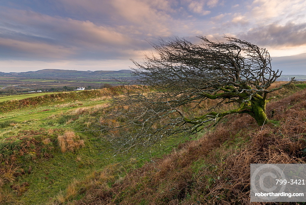 Windswept hawthorn tree growing on earth ramparts at Castle an Dinas iron age hillfort, Cornwall, England, United Kingdom, Europe