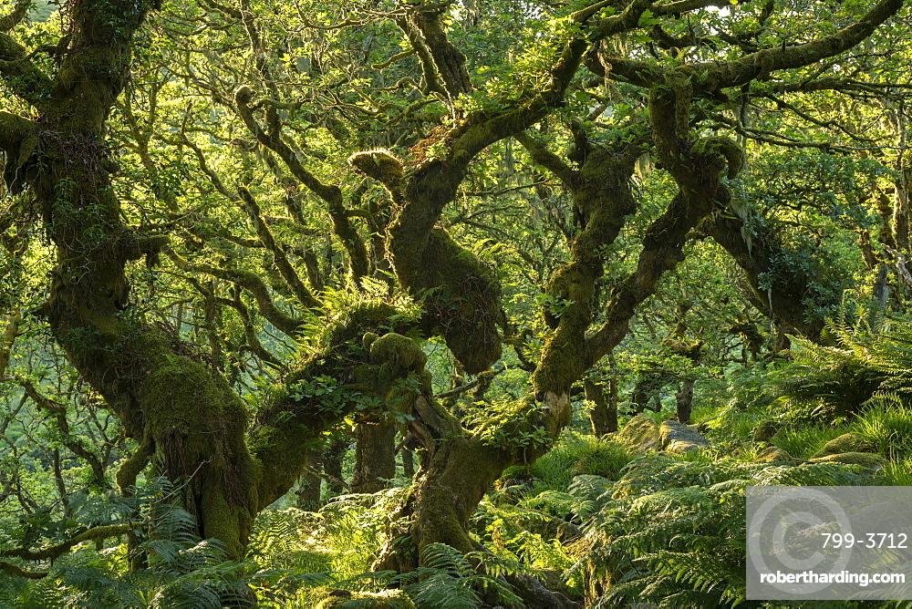 A verdant Wistman's Wood in summer sunshine, Dartmoor National Park, Devon, England, United Kingdom, Europe