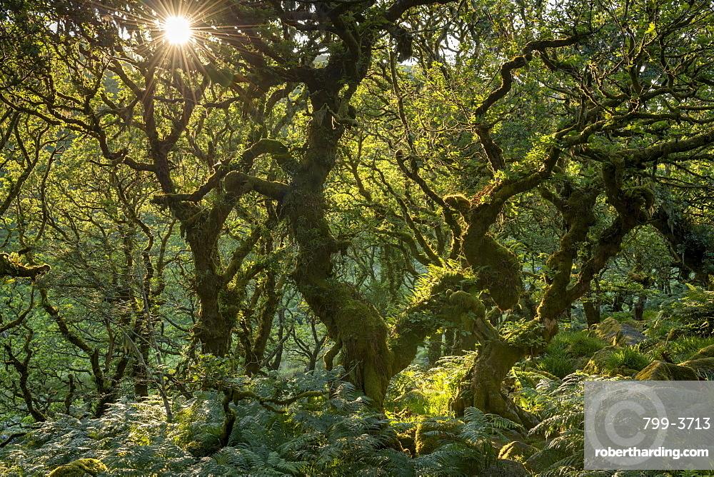 Late evening sunshine in Wistman's Wood SSSI in Dartmoor National Park, Devon, England, United Kingdom, Europe
