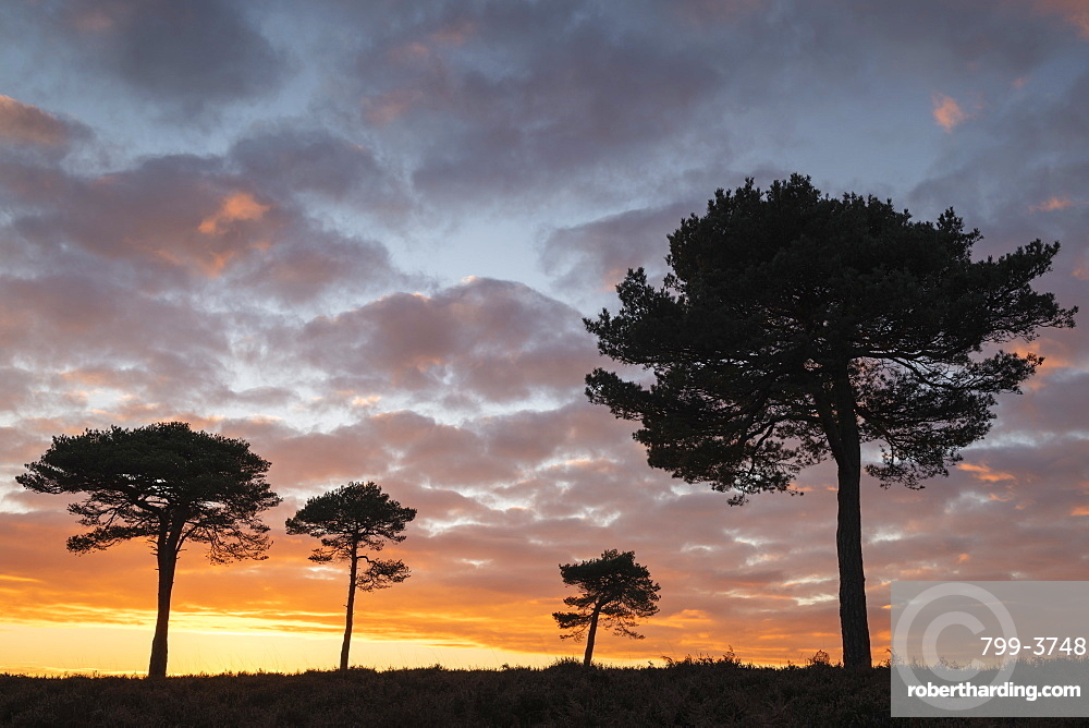 Scots Pine trees silhouetted against a sunset sky on New Forest heathland, Hampshire, England, United Kingdom, Europe