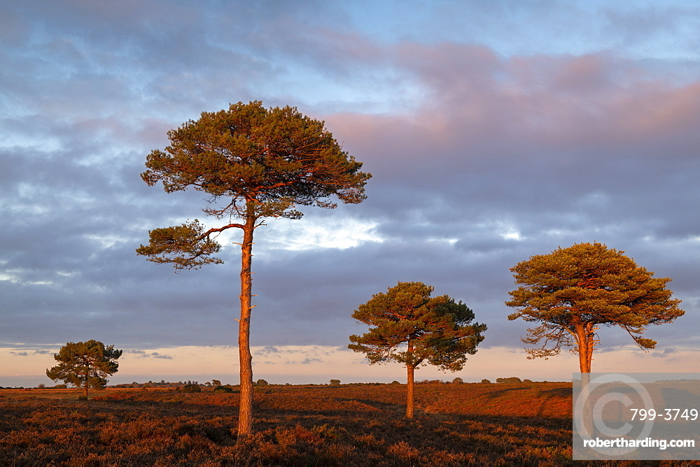 Scots Pine trees on the heathland bathed in evening sunlight, New Forest National Park, Hampshire, England, United Kingdom, Europe
