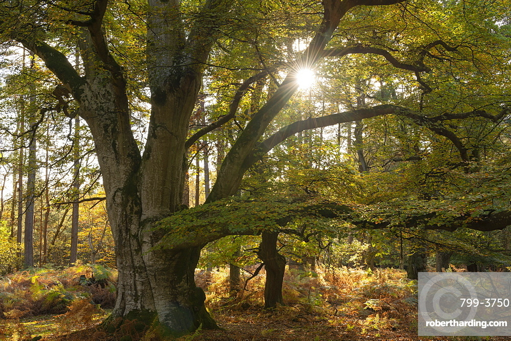 Magnificent mature pollarded beech tree in Bolderwood on a sunny autumnal afternoon, New Forest National Park, Hampshire, England.
