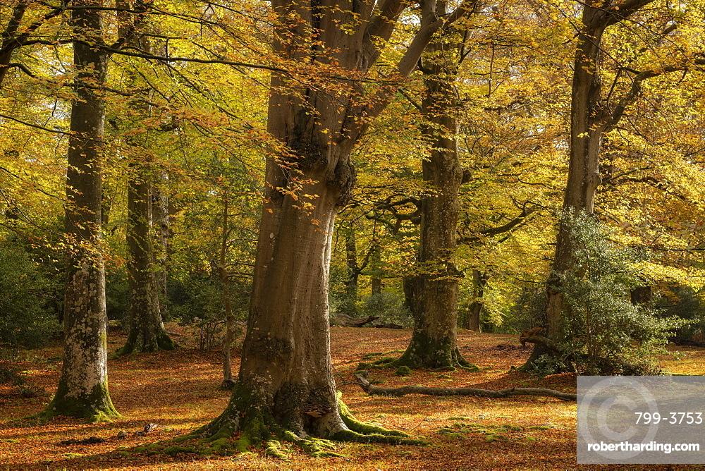Mature beech woodland during autumn, New Forest National Park, Hampshire, England. Autumn (November) 2018.