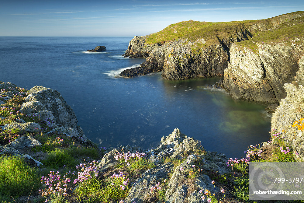 Sea pink wildflowers on the cliff tops on the rugged west coast of Anglesey, North Wales, UK. Spring (May) 2019.