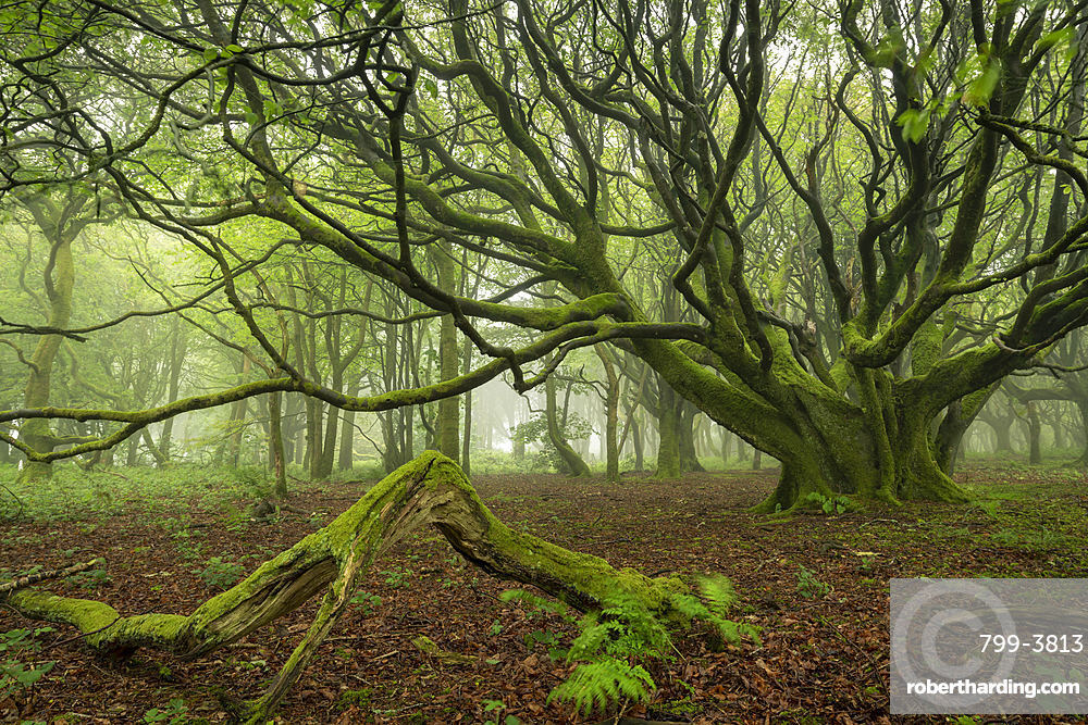 Misty deciduous woodland in spring, Cornwall, England, United Kingdom, Europe