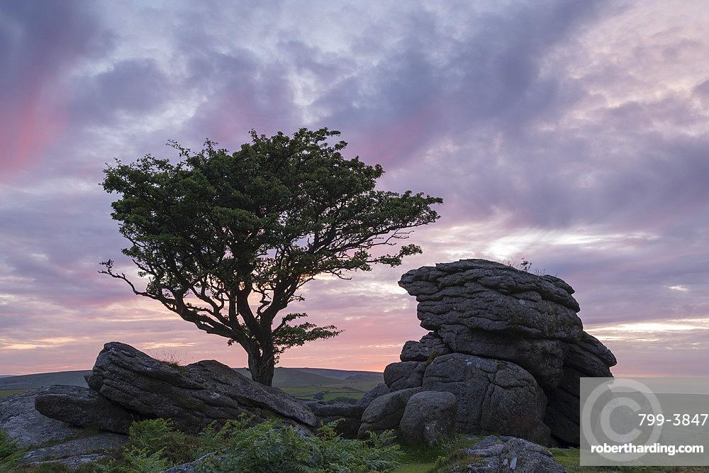 Hawthorn tree and granite tor at sunset, Dartmoor National Park, Devon, England, United Kingdom, Europe