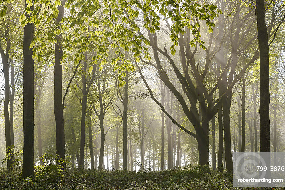 Morning sunlight streams into a deciduous woodland in spring, Wadebridge, Cornwall, England, United Kingdom, Europe