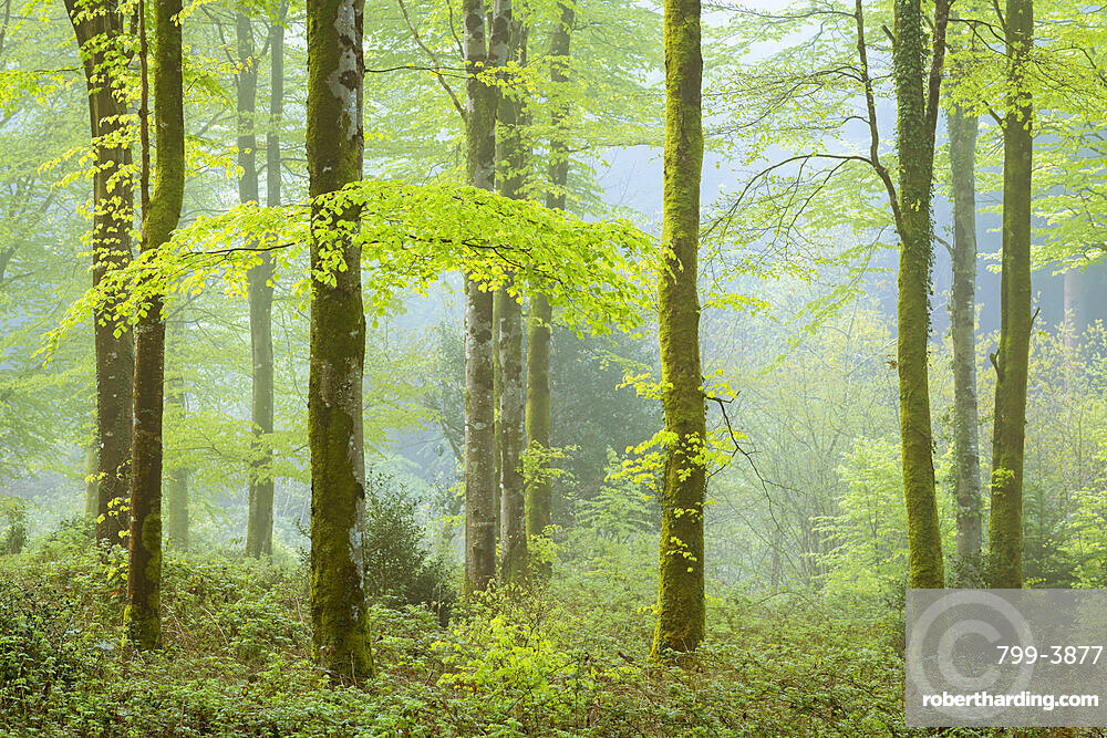 Misty morning in spring in a deciduous woodland, Bodmin, Cornwall, England, United Kingdom, Europe