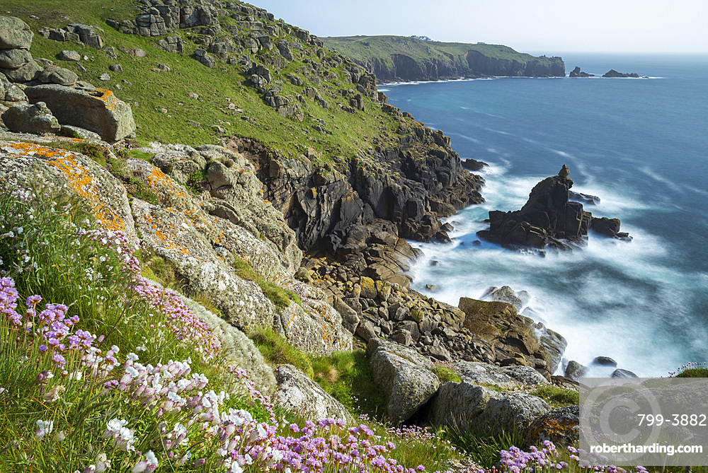 Wildflowers on the Cornish cliff tops near Sennen Cove, Land's End, Cornwall, England, United Kingdom, Europe