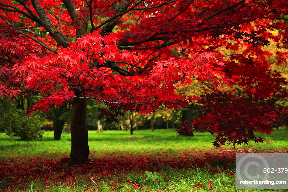 Autumn colours, Westonbirt Arboretum, Gloucestershire, England, United Kingdom, Europe
