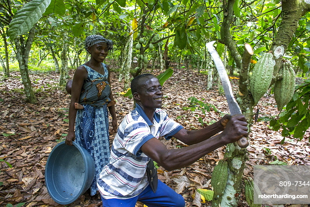 Farmer harvesting cocoa (cacao) pods with his wife, Ivory Coast, West Africa, Africa