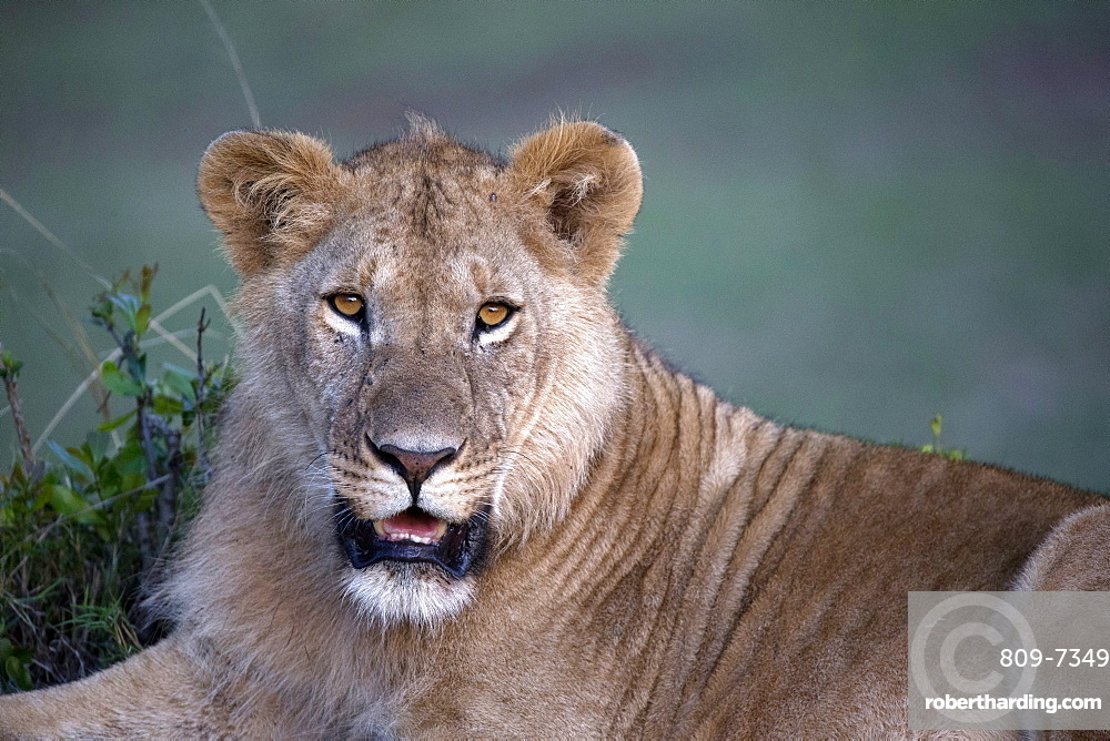 Lioness (Panthera leo) in savanna. Masai Mara game reserve. Kenya.