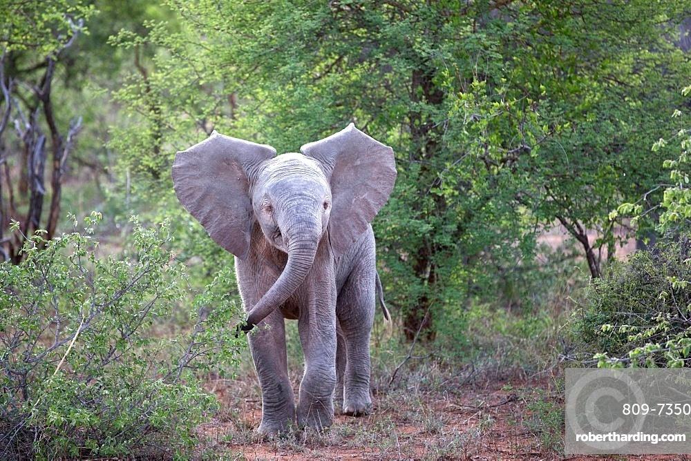 African Baby Elephant (Loxodonta africana), Keer-Keer, South Africa, Africa