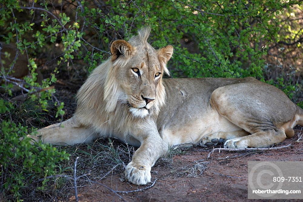 Lion (Panthera leo), Keer-Keer, South Africa, Africa