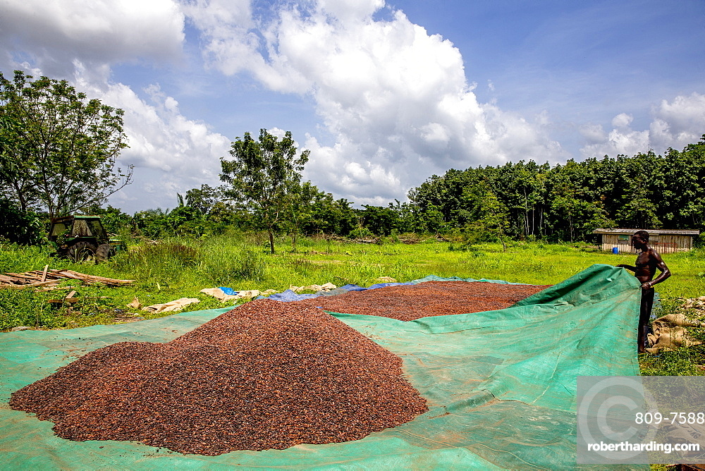 Cocoa beans drying in Agboville, Ivory Coast, West Africa, Africa