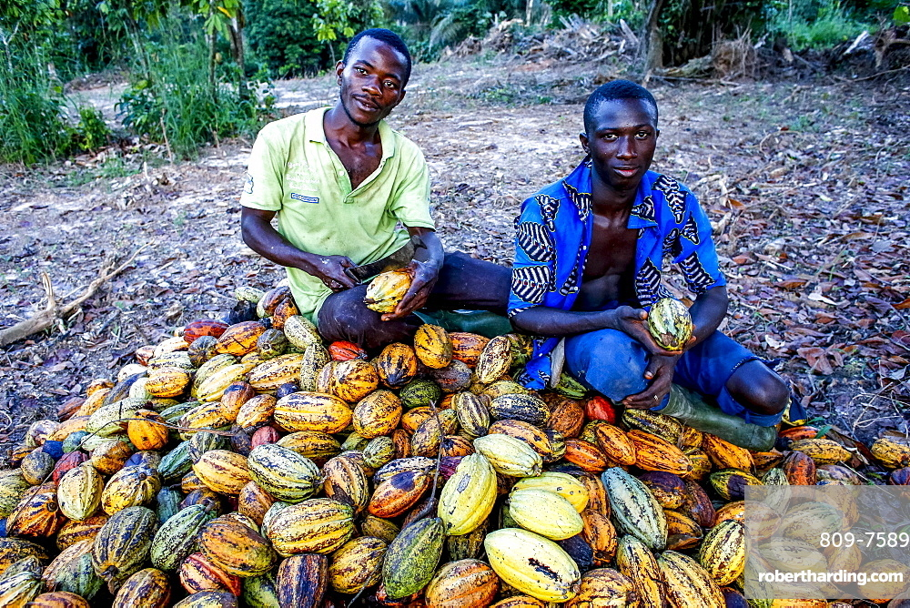 Cocoa planters sitting on pods near Agboville, Ivory Coast, West Africa, Africa