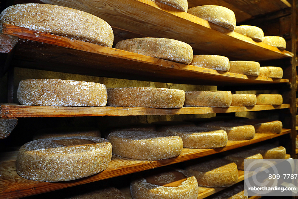 Artisanal Tomme cheese refining in a traditional cellar, Rognaix, Savoie, France, Europe