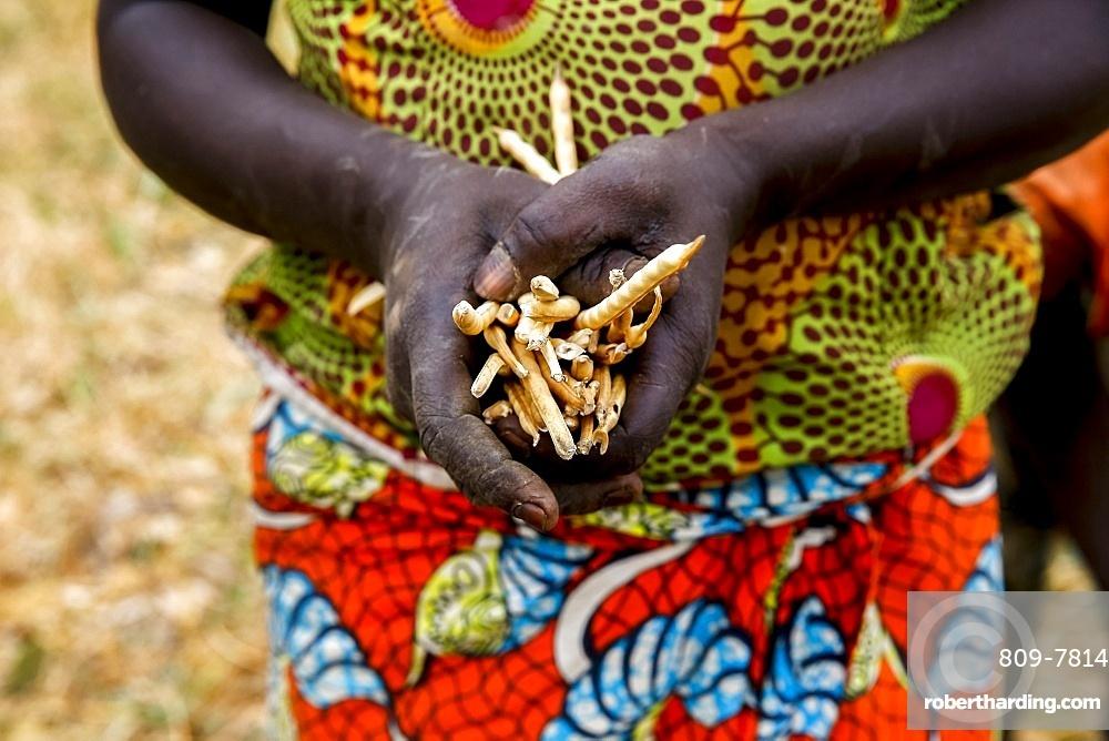 Bean harvest in Djibomben village, North Togo, West Africa, Africa