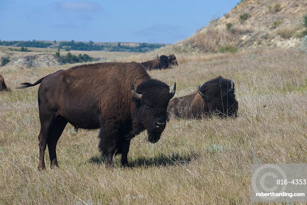 Wild buffalos in the Roosevelt National Park, North Dakota, United States of America, North America