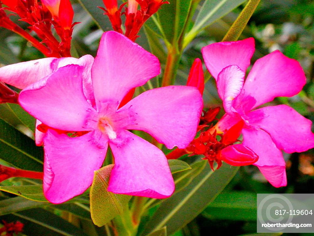 oleander nerium oleander stock photo