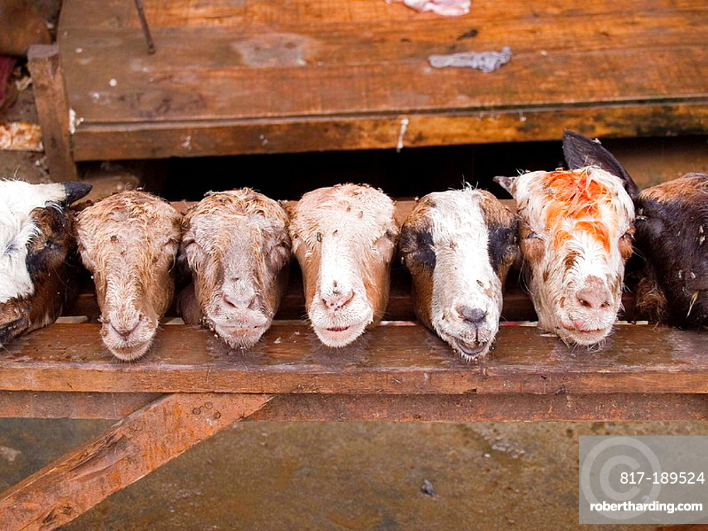 A line of goat heads | Stock Photo