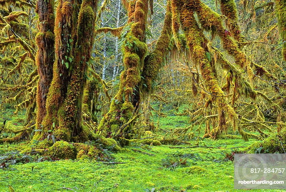 Bigleaf Maple Acer Macrophyllum With Stock Photo