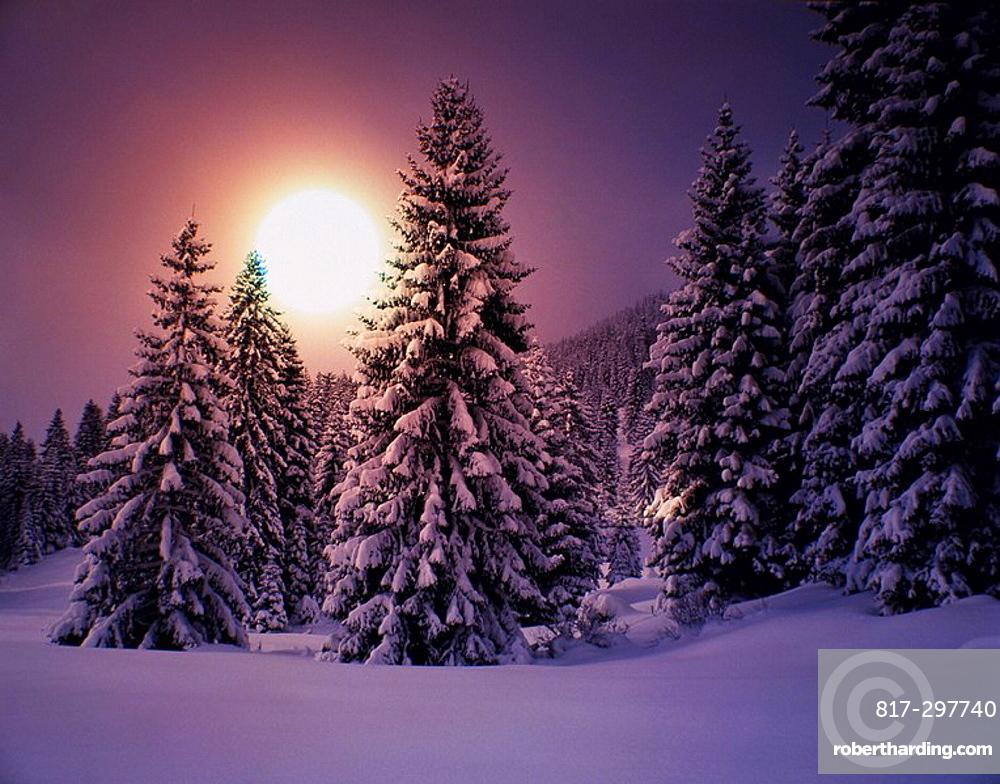 winter, scenery, landscape, winter scenery, trees, wood, forest, snow, coniferous forest, fir wood, conifers, sundown, . winter, scenery, landscape, winter scenery, trees, wood, forest, snow, coniferous forest, fir wood, conifers, sundown,