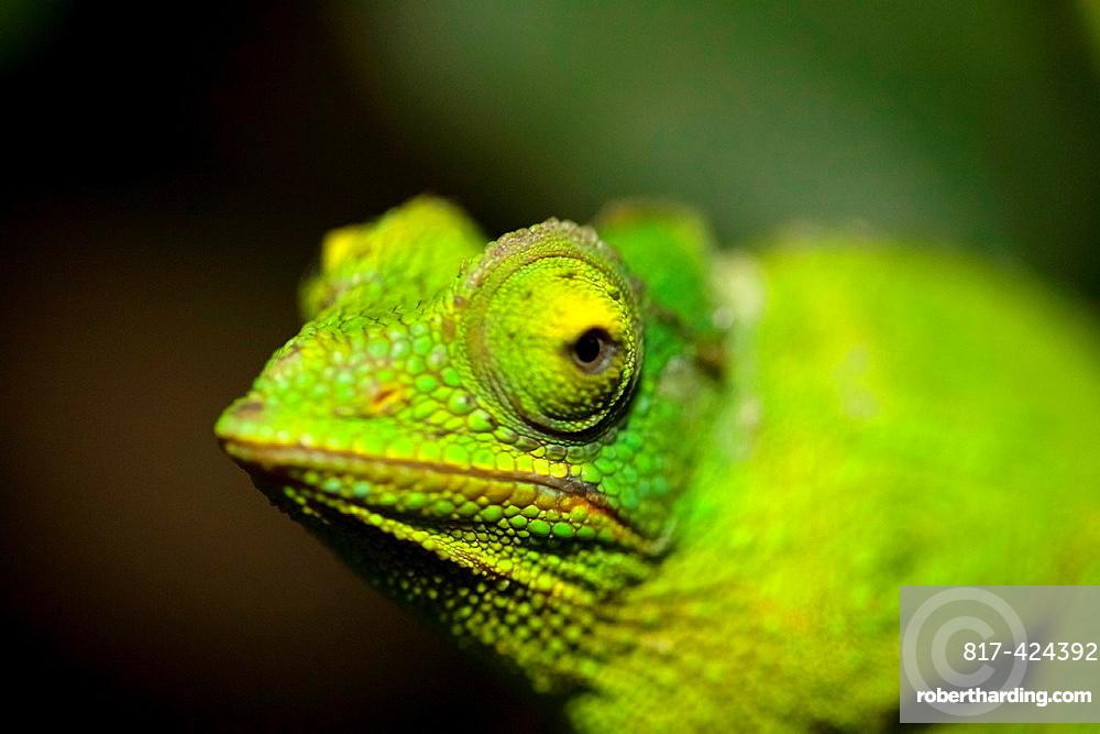 Close up view of a Jewel chameleon, Chamaeleo lateralis, Moody Gardens Rain Forest, Galveston, Texas