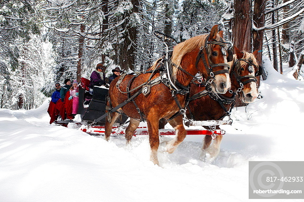A team of two Belgian Draft Horses pulls a sleigh through the snow near Tenaya Lodge, Yosemite National Park, California, United States of America.