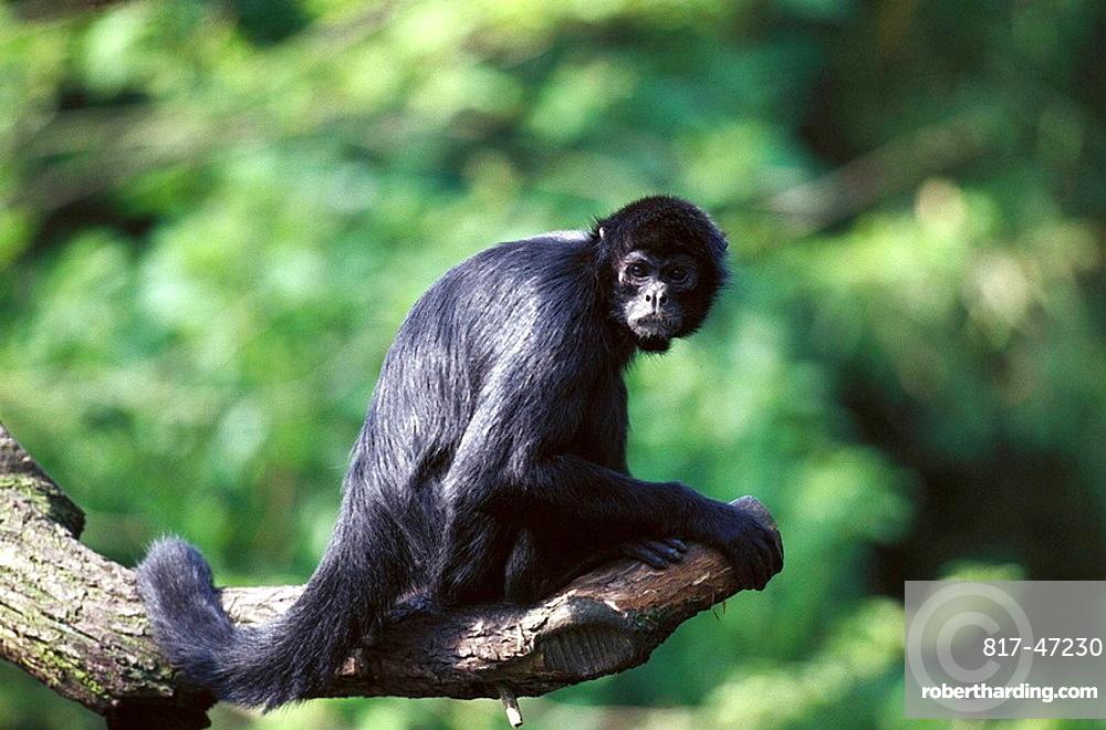 black headed spider monkey size