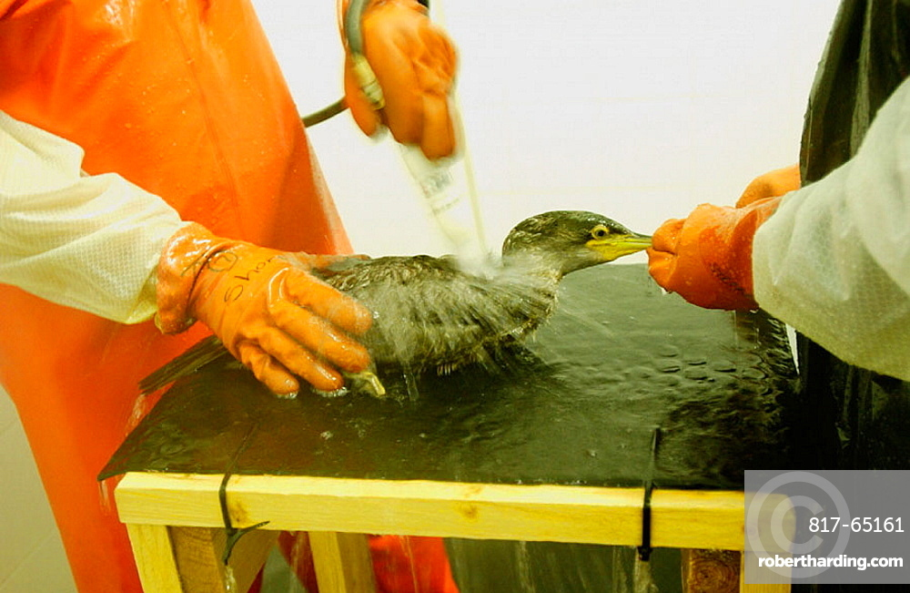 Recuperation of marine birds after the fuel spill ('chapapote') of Prestige tanker, Dec, 2002, Pontevedra province, Galicia, Spain