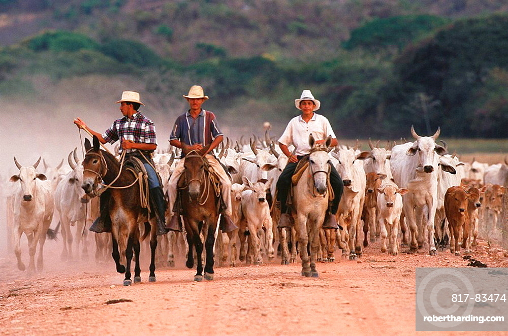 Indian cowboys farming Nelore cattle, Hato Pinero, Los Llanos, Venezuela