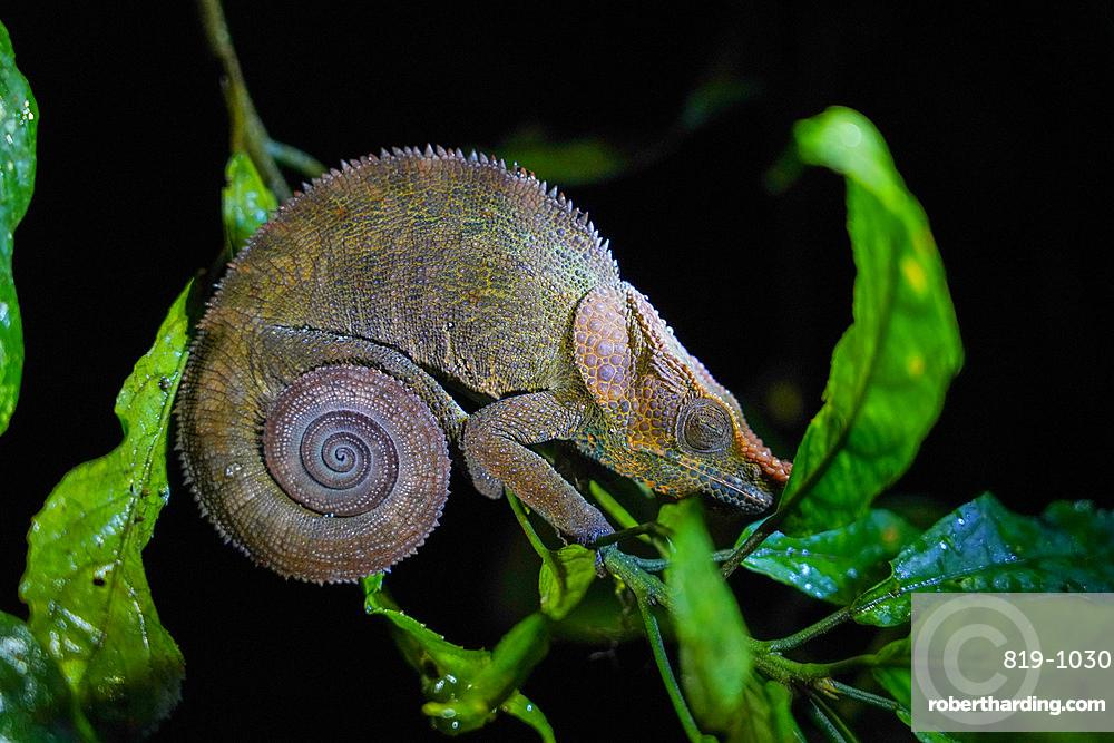 Nose-horned or Big-nosed Chameleon (Calumma nasutum), Parc National de Ranomafana, Ranomafana, Central Madagascar