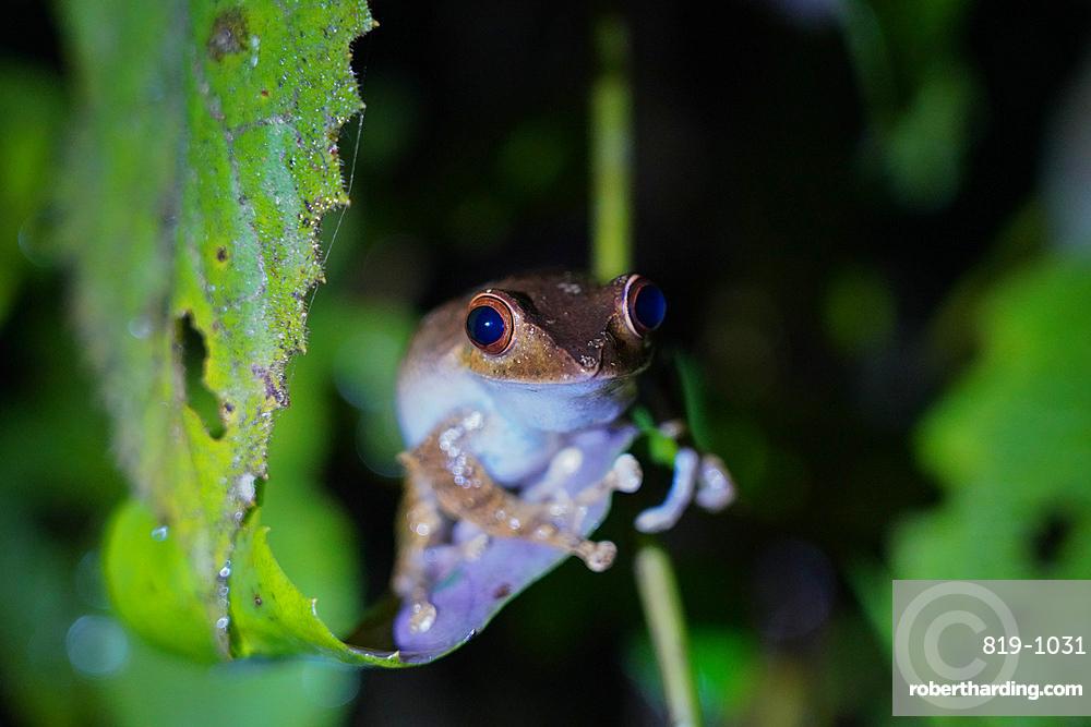 Tree frog, Parc National de Ranomafana, Ranomafana, Central Madagascar