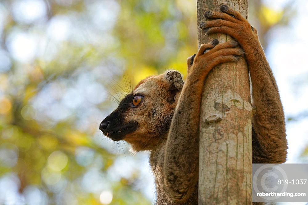Red-fronted lemur (Eulemur rufifrons), Réserve Forestière de Kirindy, Kirindy Forest, Western Madagascar