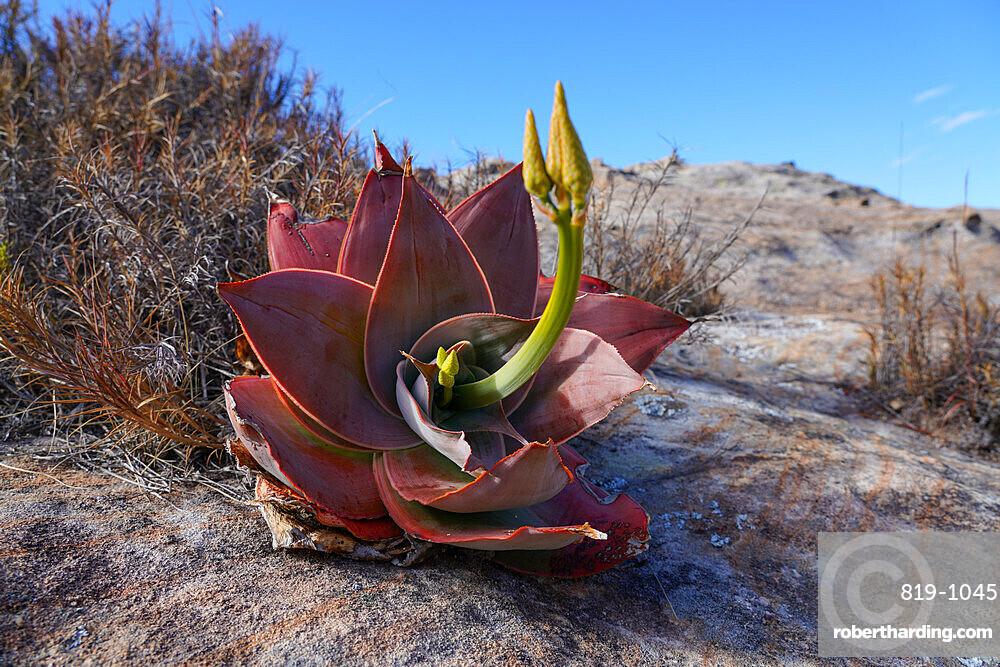 Aloe isaloensis, Isalo National Park, Fianarantsoa province, Ihorombe Region, Southern Madagascar